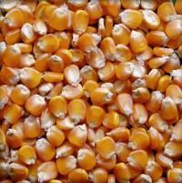 Bắp hạt - nguyên liệu sản xuất thức ăn chăn nuôi - giá tốt nhất