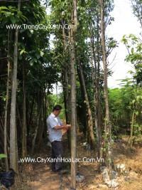 Các loại cây xanh công trình
