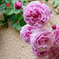 Hoa hồng tím đẹp nhất