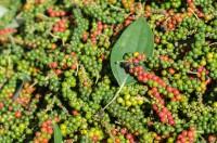 Thu mua nông sản việt nam: các nhà đầu cơ đang thu gom hồ tiêu ở thị trường tron